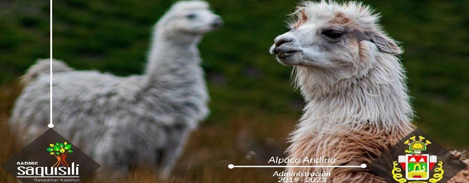 Alpaca Andina